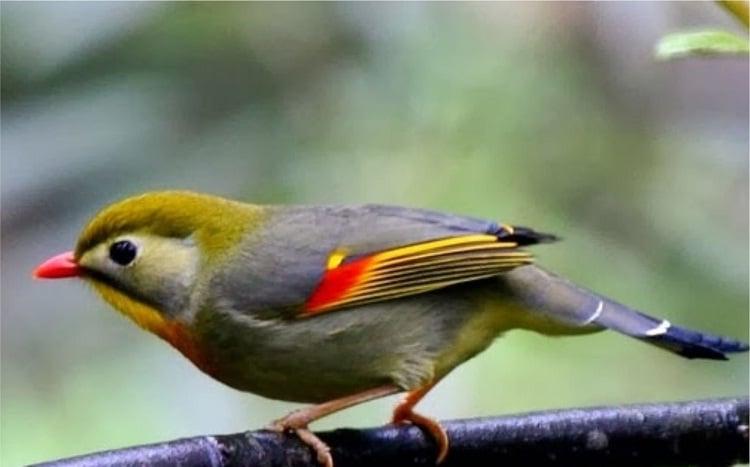 Cara Membedakan Jenis Kelamin Burung Robin Paling Mudah