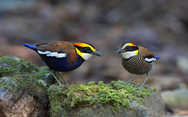 Mengetahui Cara Membedakan Jenis Kelamin Burung Pancawarna 2
