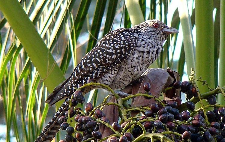Mengenal Perilaku Burung Tuwu, Jenis Burung Yang Penuh Misteri 1