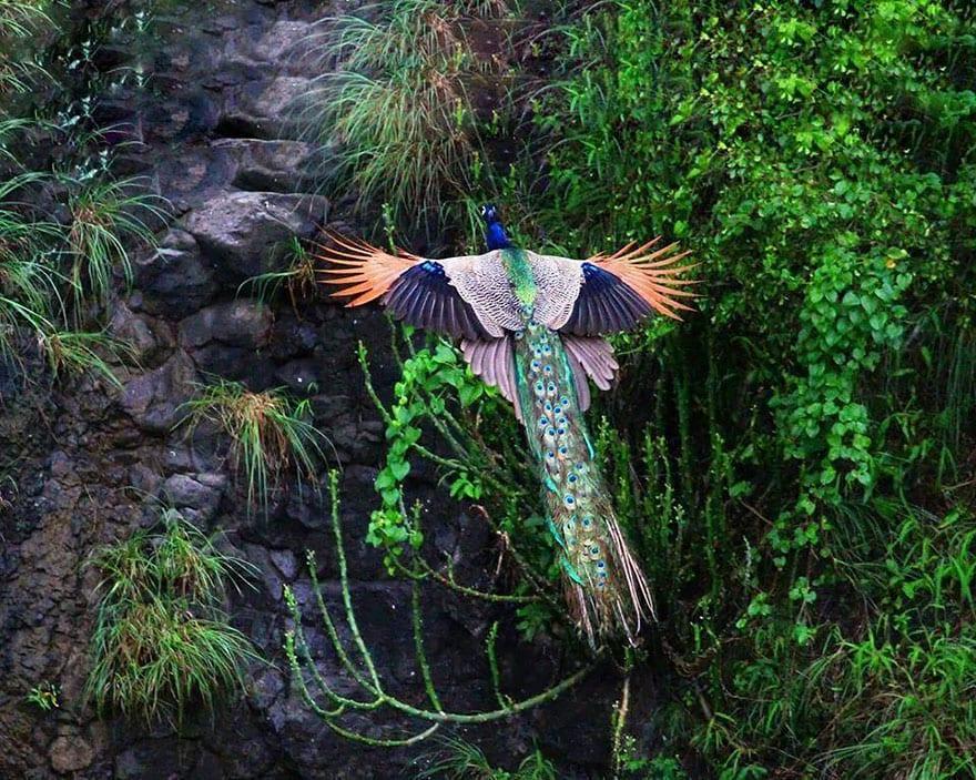 Burung Merak - Flickr.com
