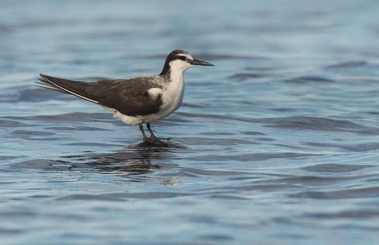 Burung Dara Laut Batu