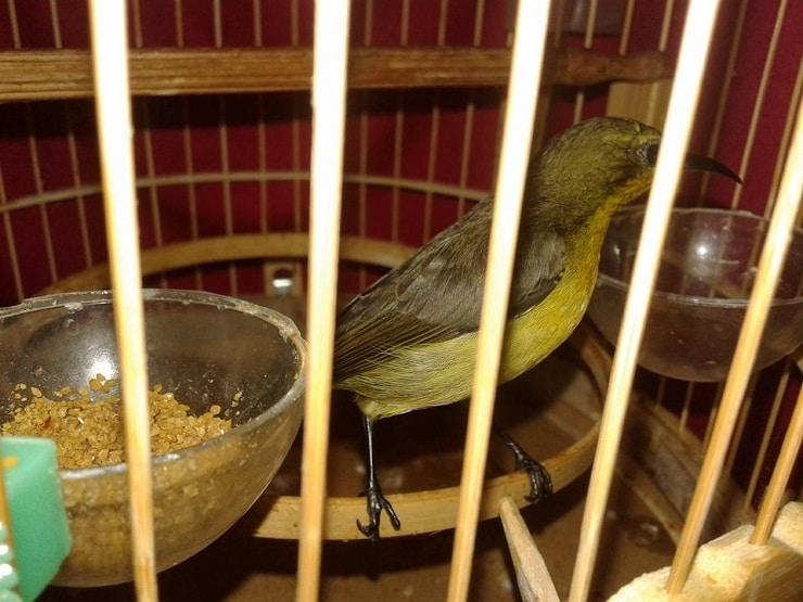 Cara Paling Mudah Melatih Burung Kolibri Makan Kroto 1