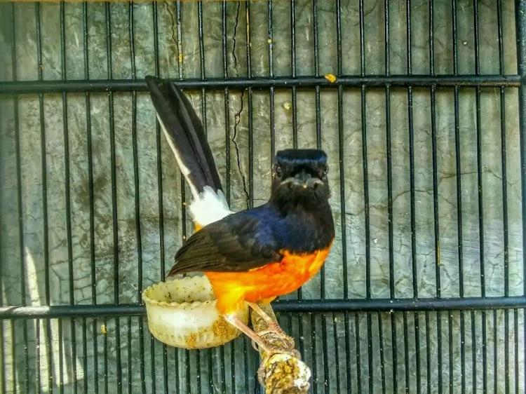 Mengetahui Ciri Khusus Burung Murai Batu Kalimantan