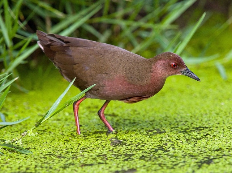 Burung Tikusan Merah