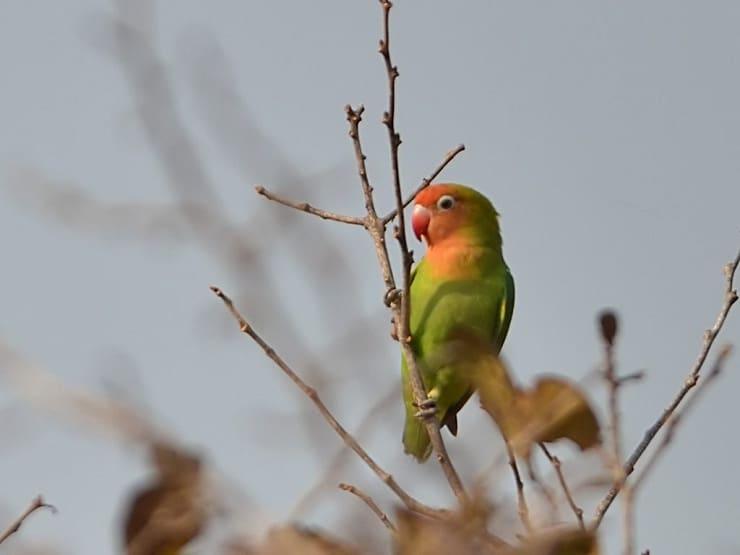 Cara Paling Ampuh Mengatasi Lovebird Cabut Bulu Dada 2