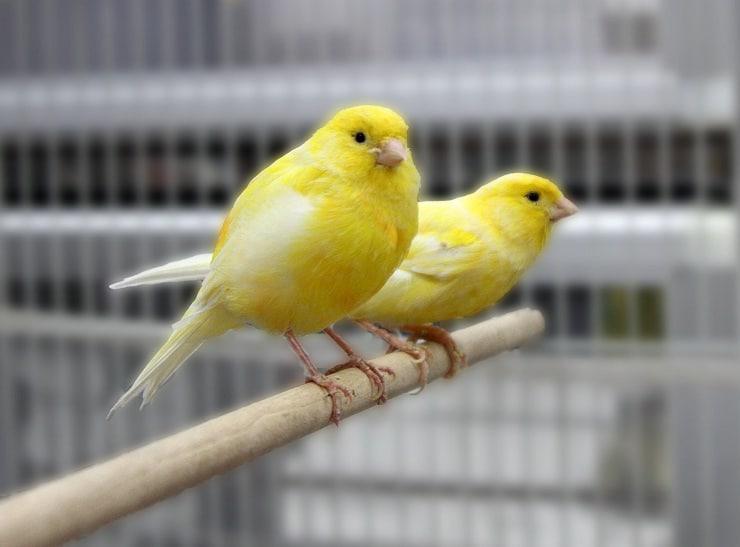 Mengetahui Berbagai Macam Penyebab Burung Kenari Jarang Bunyi 1