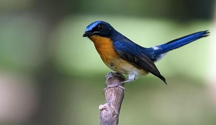 Mengetahui Penyebab dan Cara Mengatasi Burung Tledekan Ngedrop 2
