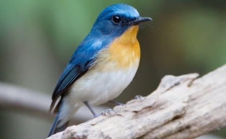 Mengetahui Perbedaan Burung Tledekan Jantan dan Betina 1