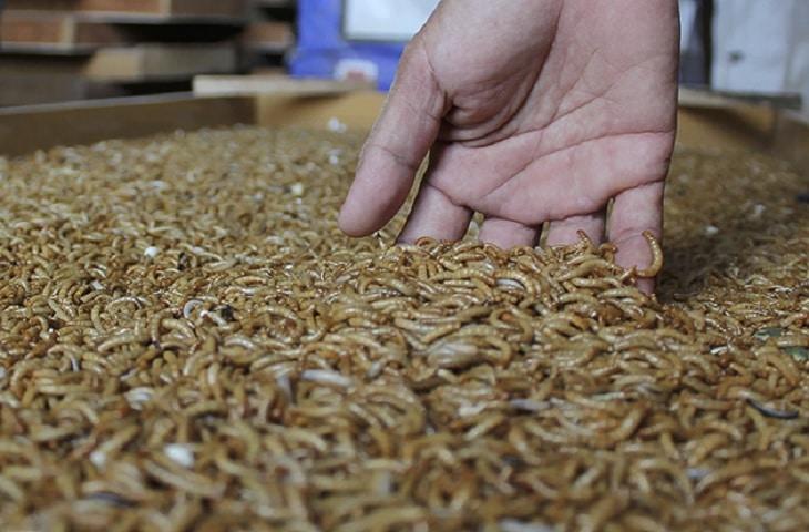 Cara Membuat Pakan Kering Dari Ulat Hongkong Untuk Burung ...