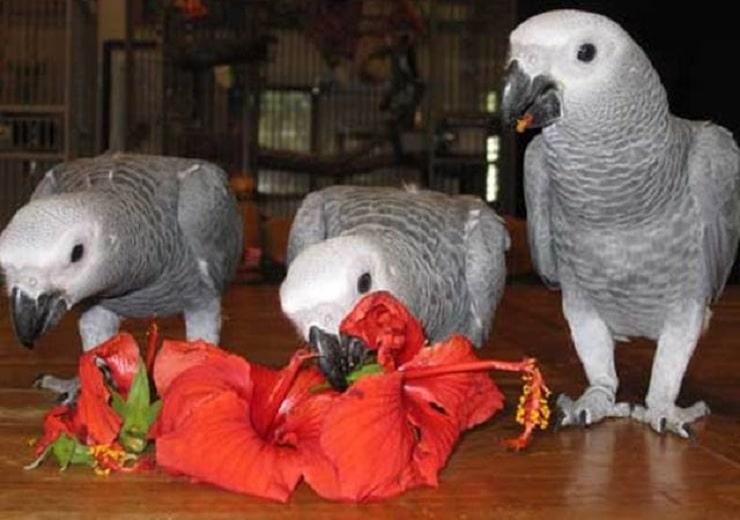 Manfaat Bunga Sepatu Untuk Burung Paruh Bengkok