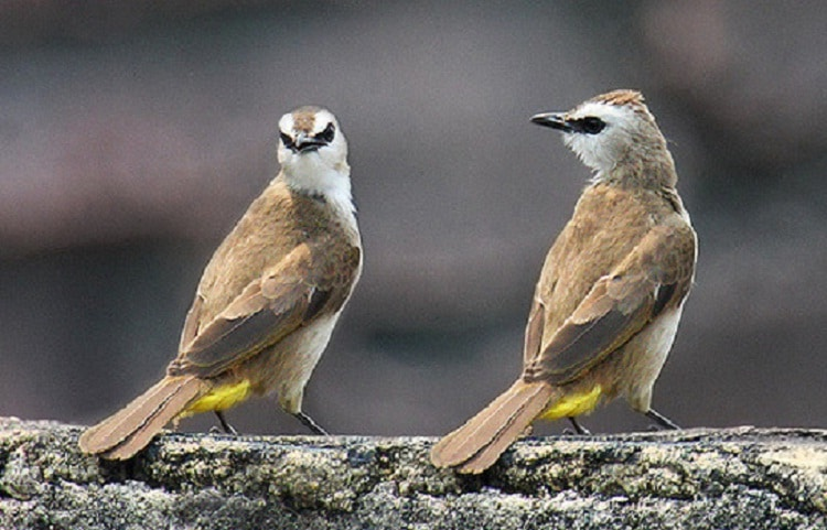 Manfaat Jahe Untuk Burung Trucukan yang Wajib Anda Ketahui 2