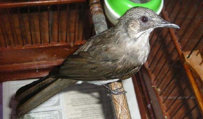 Mengenal Ciri Khas Dan Karakteristik Burung Brinji Kelabu