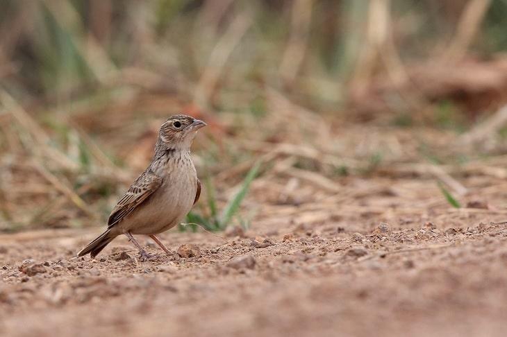 5 Jenis Serangga Untuk Burung Branjangan Agar Gacor Dan Ngeplong
