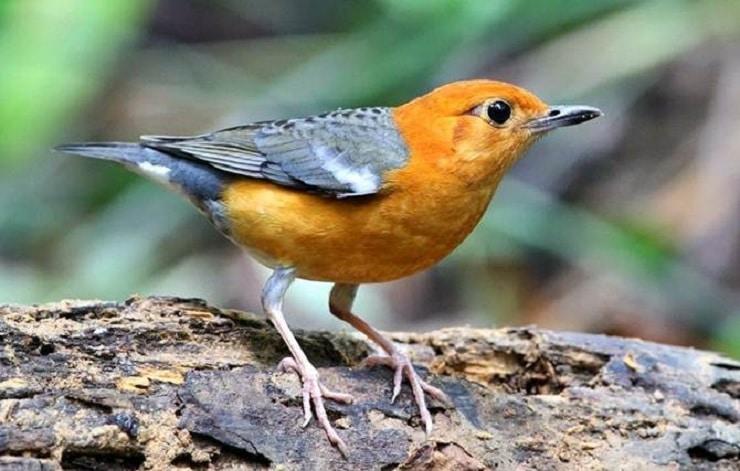 Berbagai Macam Manfaat Pisang Untuk Burung Anis Merah