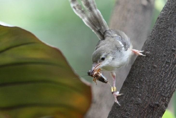 Cara Budidaya Burung Ciblek Kristal Dengan Mudah