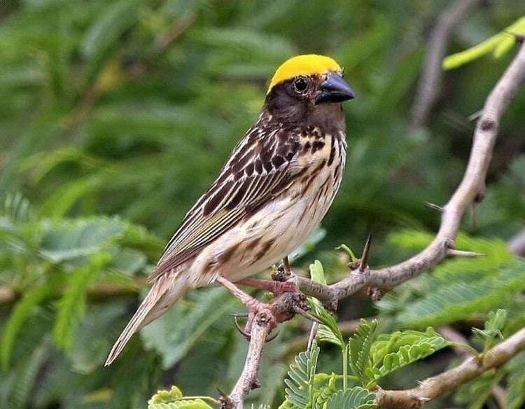 Ciri Burung Manyar Jantan Trotol Yang Membedakannya Dengan Betina