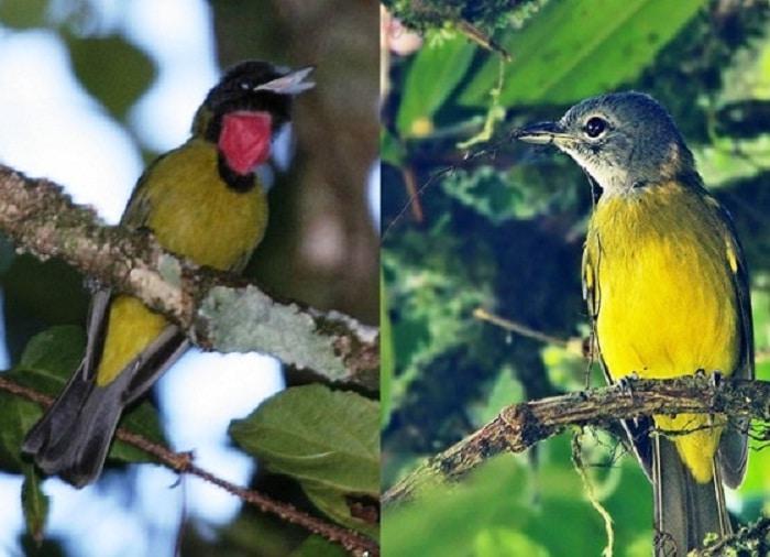 Ciri Fisik Burung Samyong Jantan dan Betina Serta cara Membedakannya 2