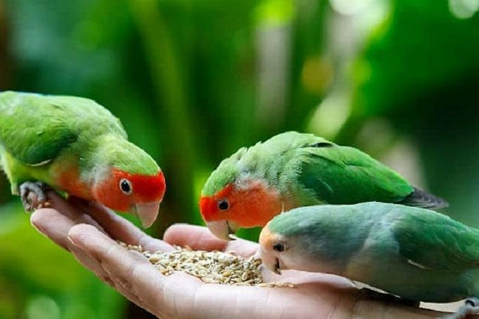 Ketahui Racikan Manfaat Jahe Untuk Burung Lovebird 2