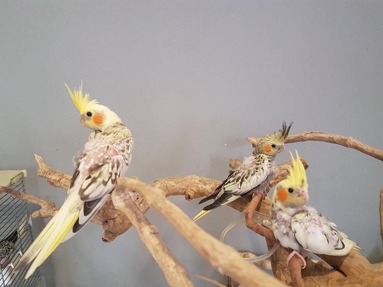 Jenis Pakan Burung Cockatiel yang Terbaik dan Bernutrisi 1