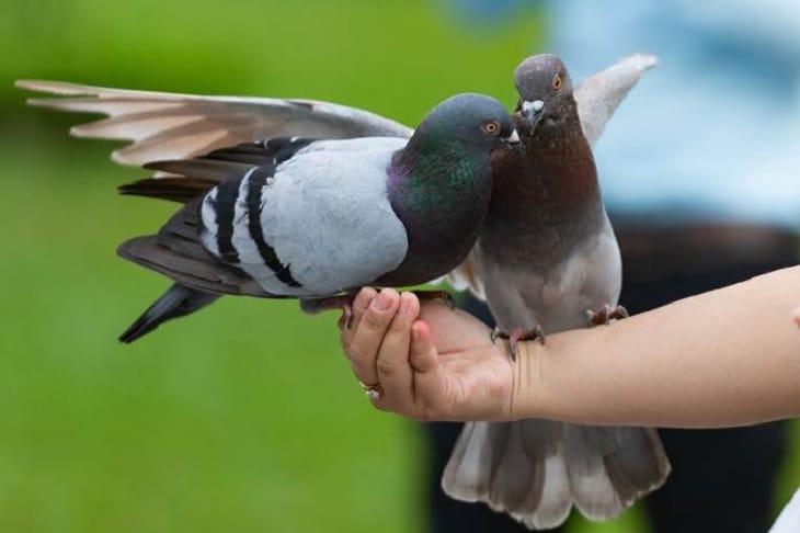 Manfaat Jangkrik Untuk Burung Merpati Yang Harus Anda Tahu