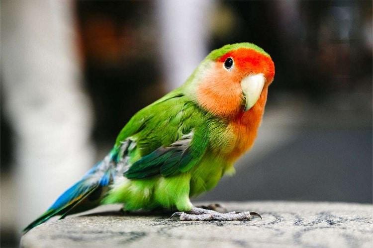 Manfaat Kacang Hijau Untuk Lovebird Sebagai Makanan Tambahan 1