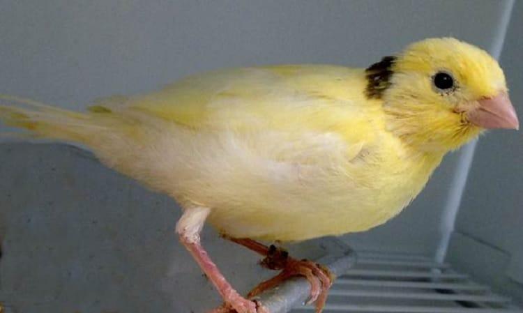 Mengenal Lebih Dalam Karakteristik Burung Kenari Waterslager