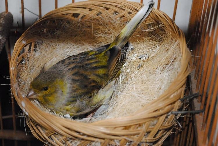 5 Jenis Bahan Untuk Sarang Burung Kenari Yang Paling Cocok