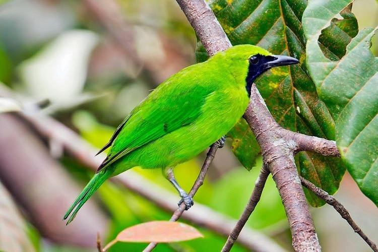 Mengetahui Berbagai Kombinasi Pakan Burung Cucak Ijo Terbaik 1
