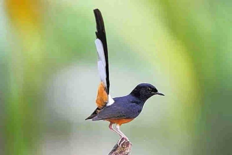 Perawatan Burung Murai Rontok Bulu Karena Kutu dan Mabung 1
