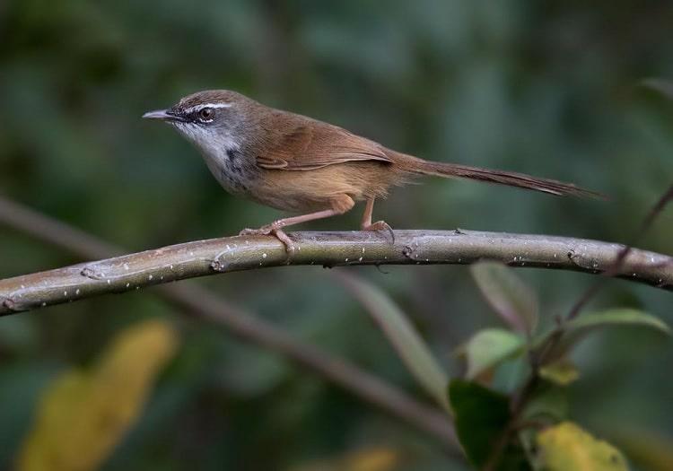 Mengetahui Perbedaan Burung Ciblek Gunung Jantan Dan Betina