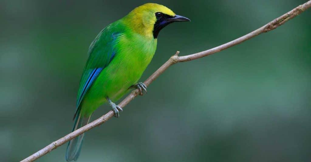 Burung Cucak Ranting
