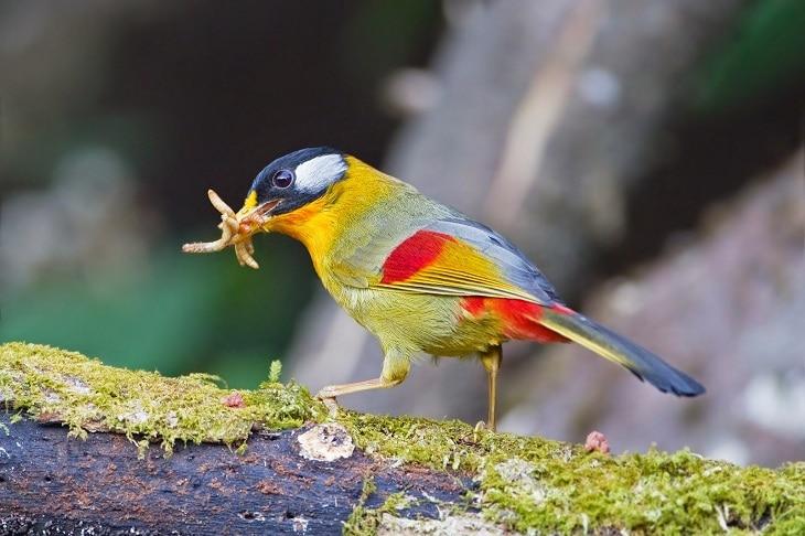 Karakter Burung Panca Warna, Suara Kicau dan Ciri Fisiknya 1
