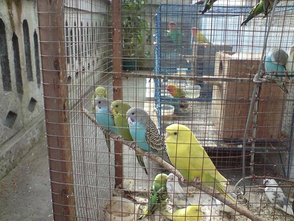 Model Dan Tipe Kandang Burung Parkit Yang Ideal