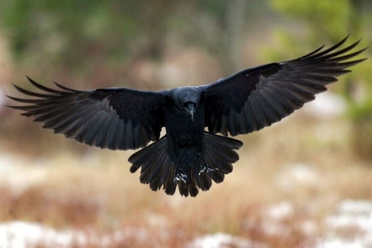 Ketahui Fakta Unik Burung Gagak Yang Menyeramkan