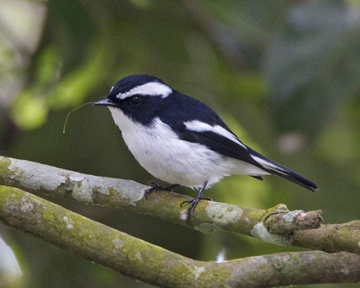 ciri khas burung sikatan belang dan habitatnya