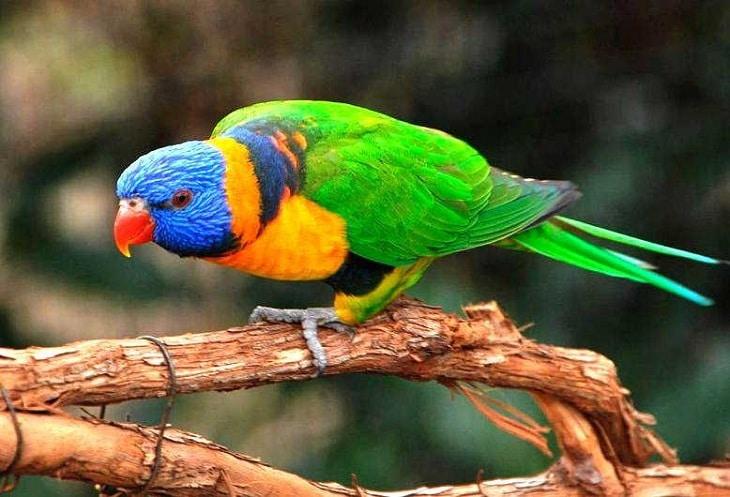 Cara Merawat Burung Nuri Agar Cepat Berbicara Layaknya Manusia