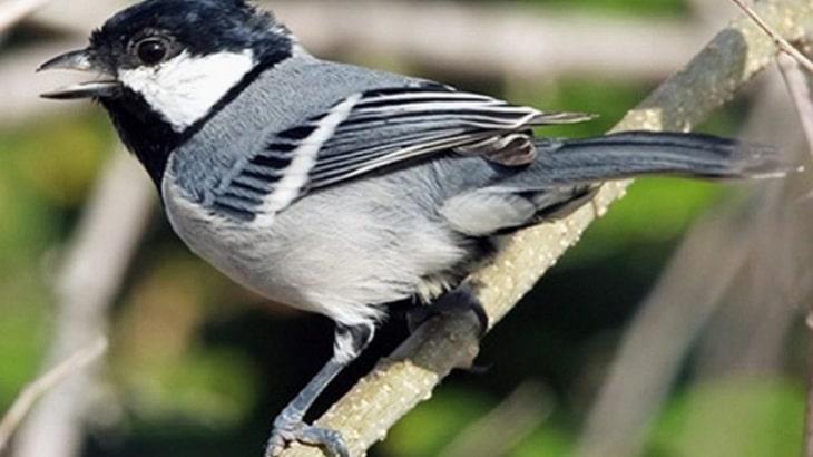 Mengenal Lebih Dekat Jenis Burung Glatik dan Habitatnya