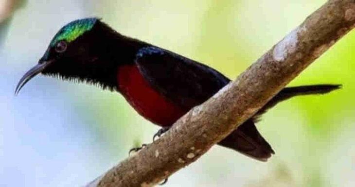 Beberapa Macam Racikan Pakan Kolibri Ninja Agar Cepat Gacor