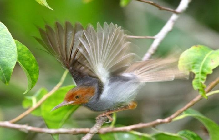 Cara Menjinakkan Burung Prenjak Kepala Merah dari Alam Liar