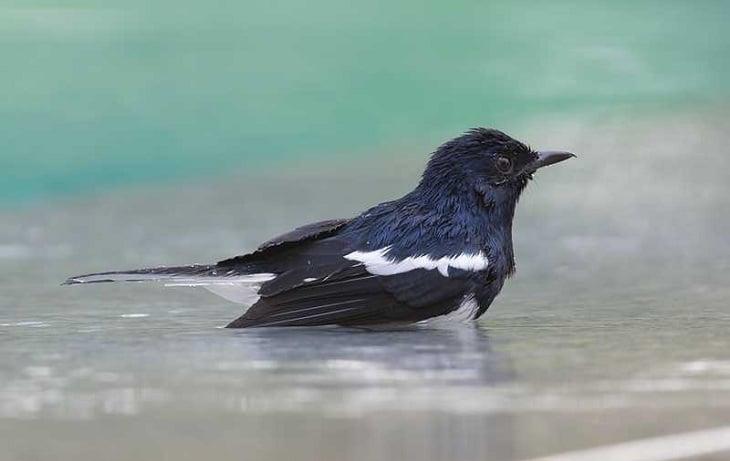 Manfaat Mandi Malam Burung Kacer Agar Gacor Saat Dilombakan