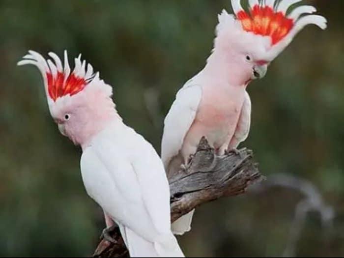 Menelusuri Lebih Dekat Fakta Unik Burung Kakatua yang Menarik