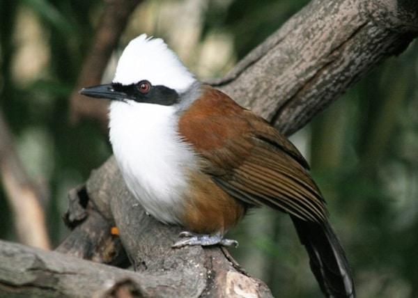 Mengenal Burung Poksay Jambul Putih dan Cara Perawatannya