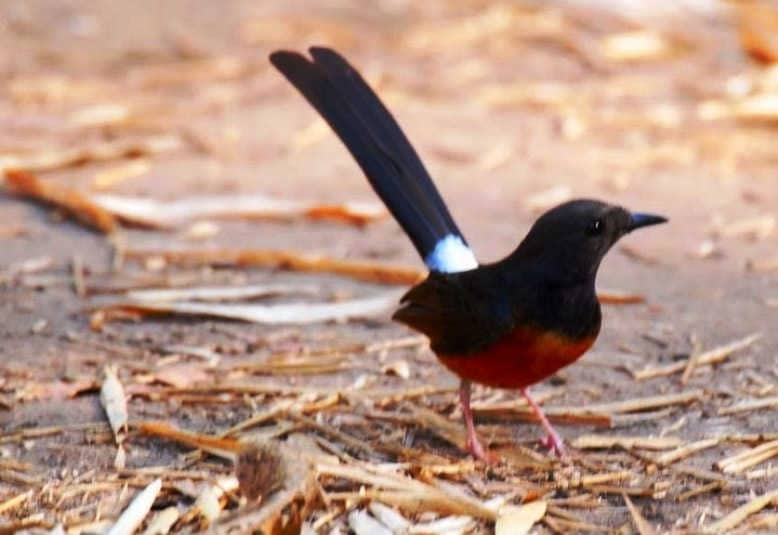 Obat Burung Murai Stres Paling Ampuh dan Mudah Diperoleh