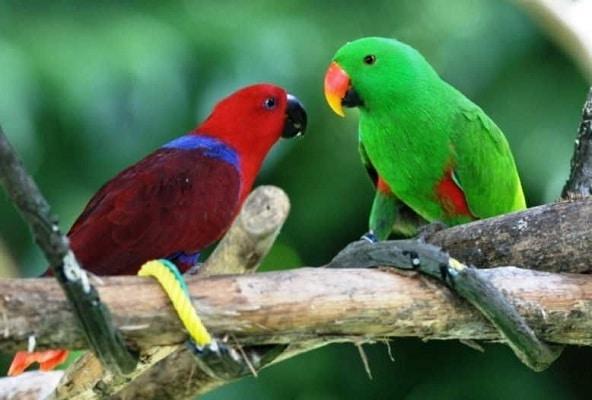 Perbedaan Burung Bayan Roratus dan Vosmaeri Cukup Mudah Dikenali