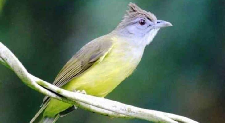 Tips Cara Merawat Burung Cucak Jenggot Supaya Gacor