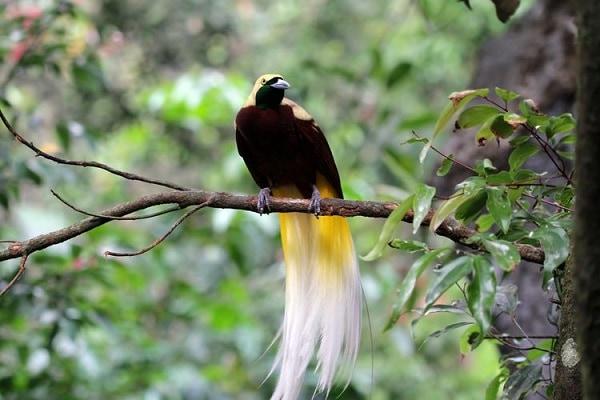 Burung Astrapia Arfak Burung Unik yang Berasal Dari Papua
