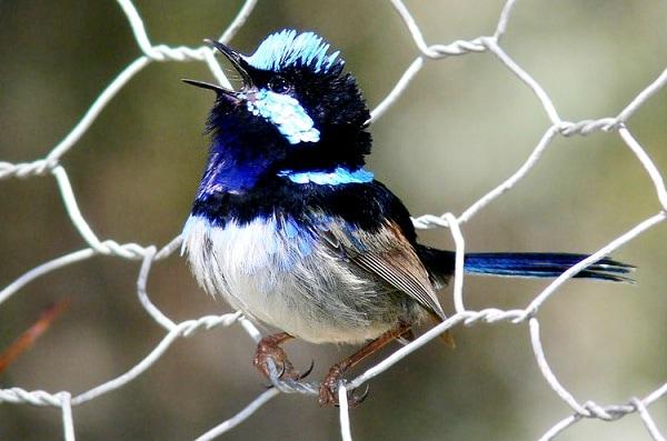 Burung Cikrak Peri, Burung Cantik Pandai Menguping