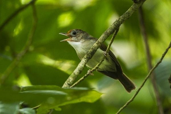 Karakteristik Burung Berencet Lengkap Dengan Klasifikasinya