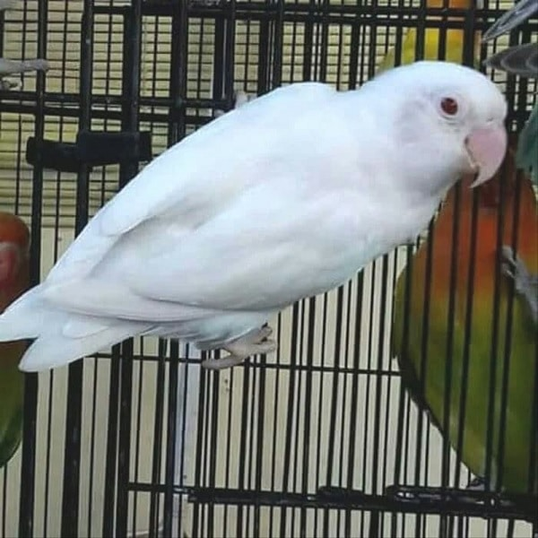 Karakteristik Lovebird Albino Mata Hitam, Jenis Lovebird Termahal