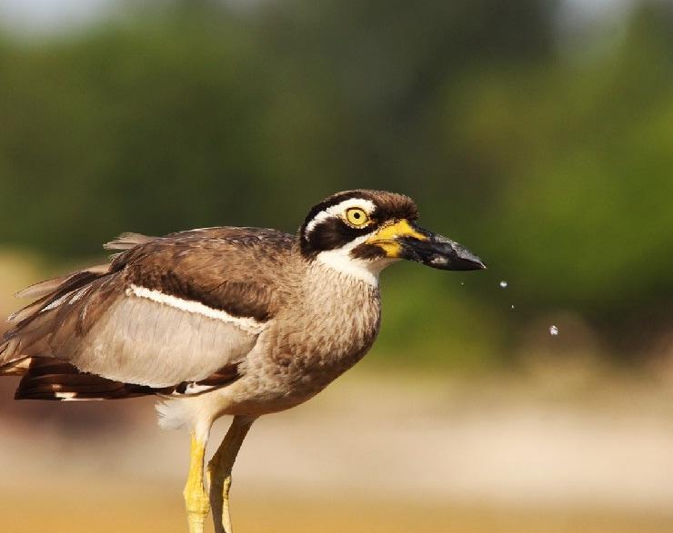 Kebiasaan Burung Wili-Wili Besar atau Beach Stone Curlew